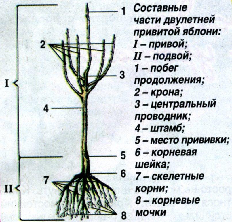 составные части и структура дерева