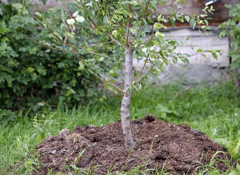дерево на пригорке