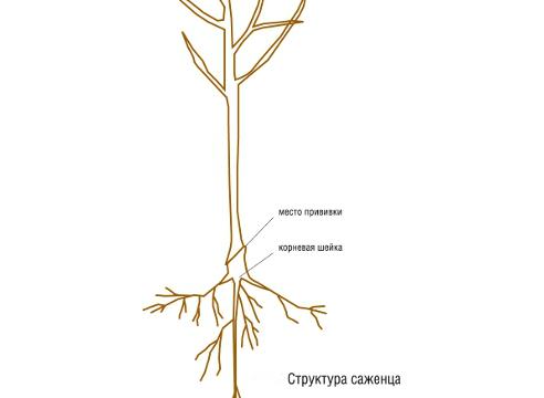 структура саженца