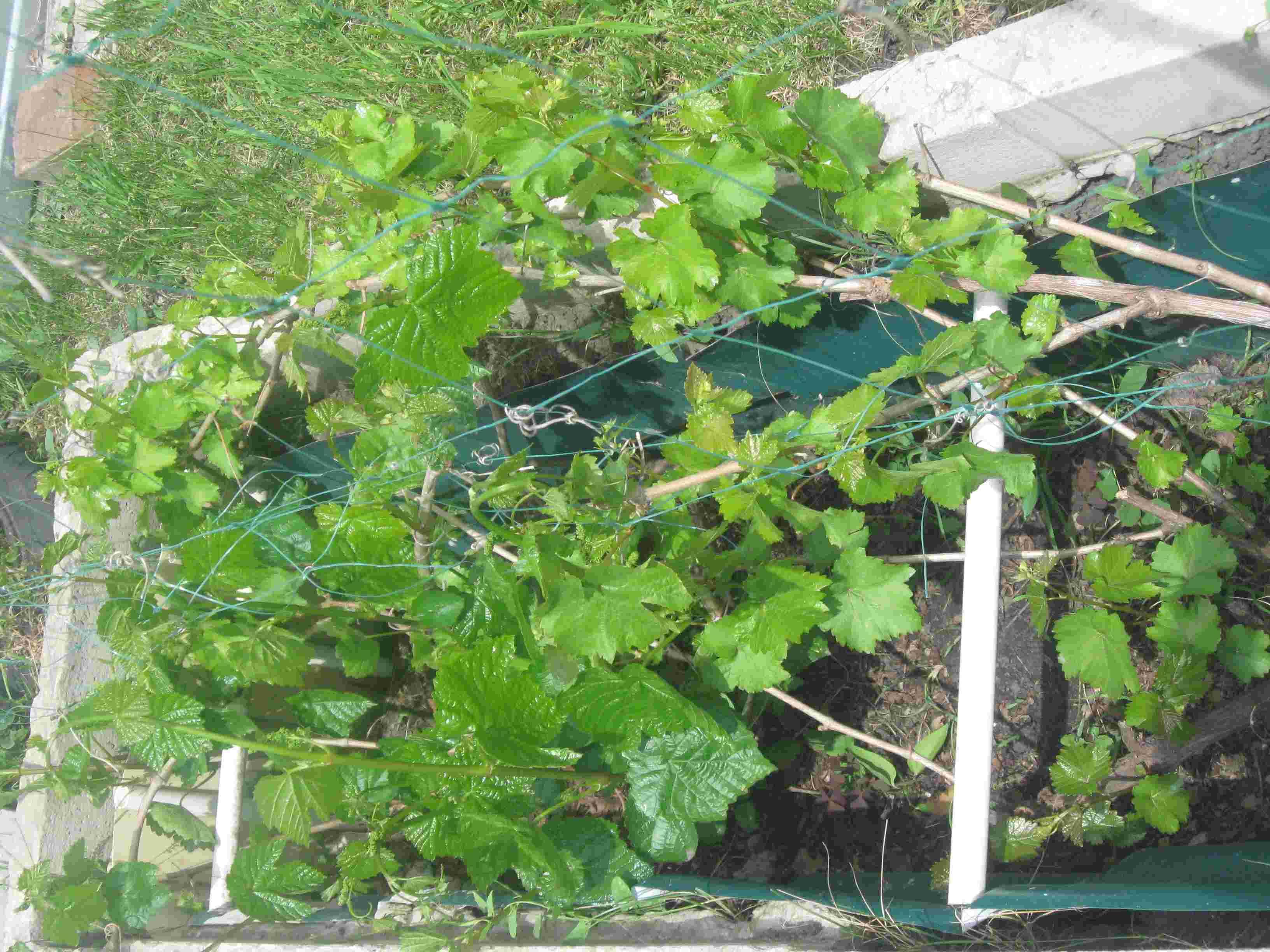 Как правильно сажать виноград фото