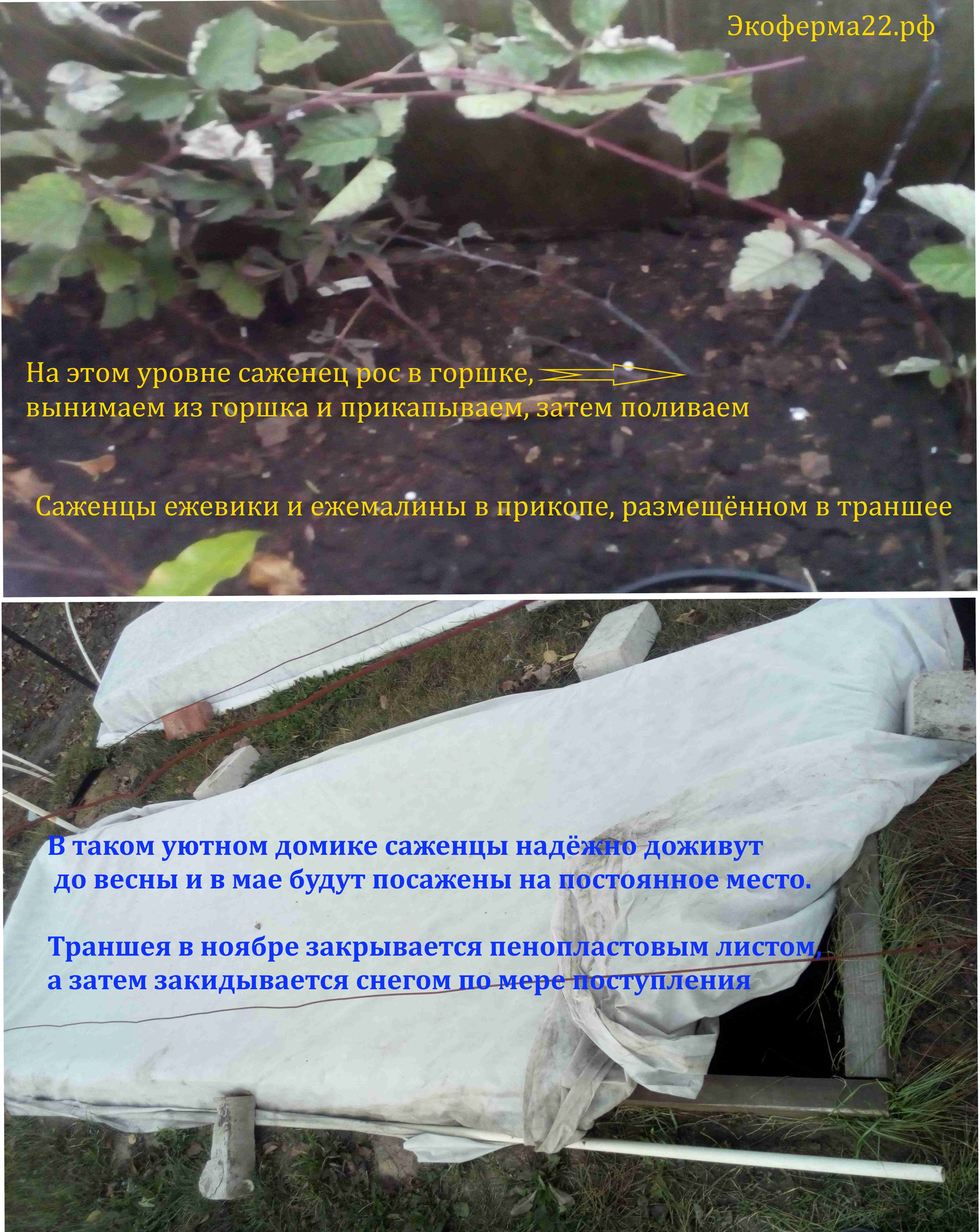 Актинидия и ежевика в прикопе