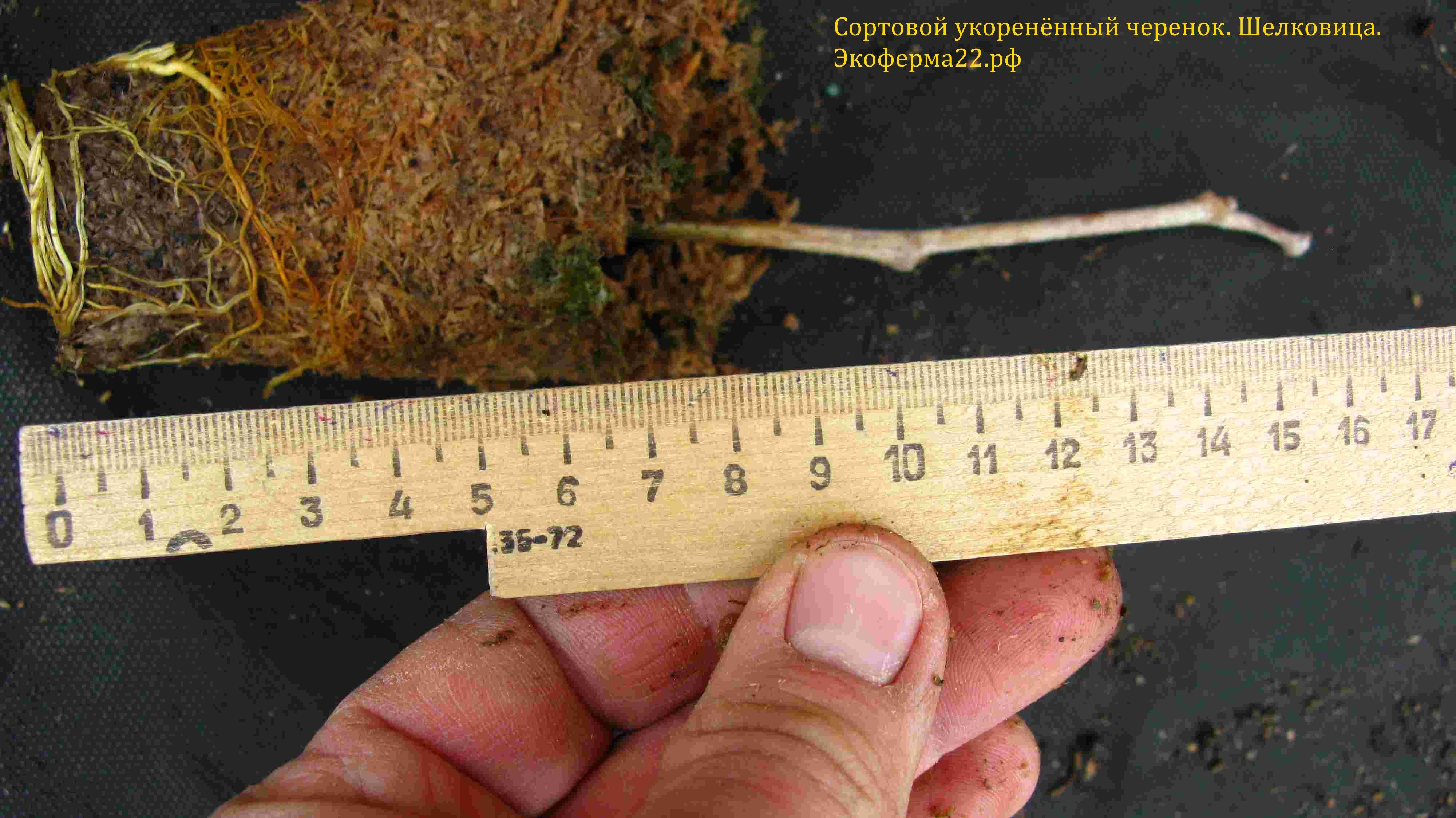 Шелковица укоренённый черенок