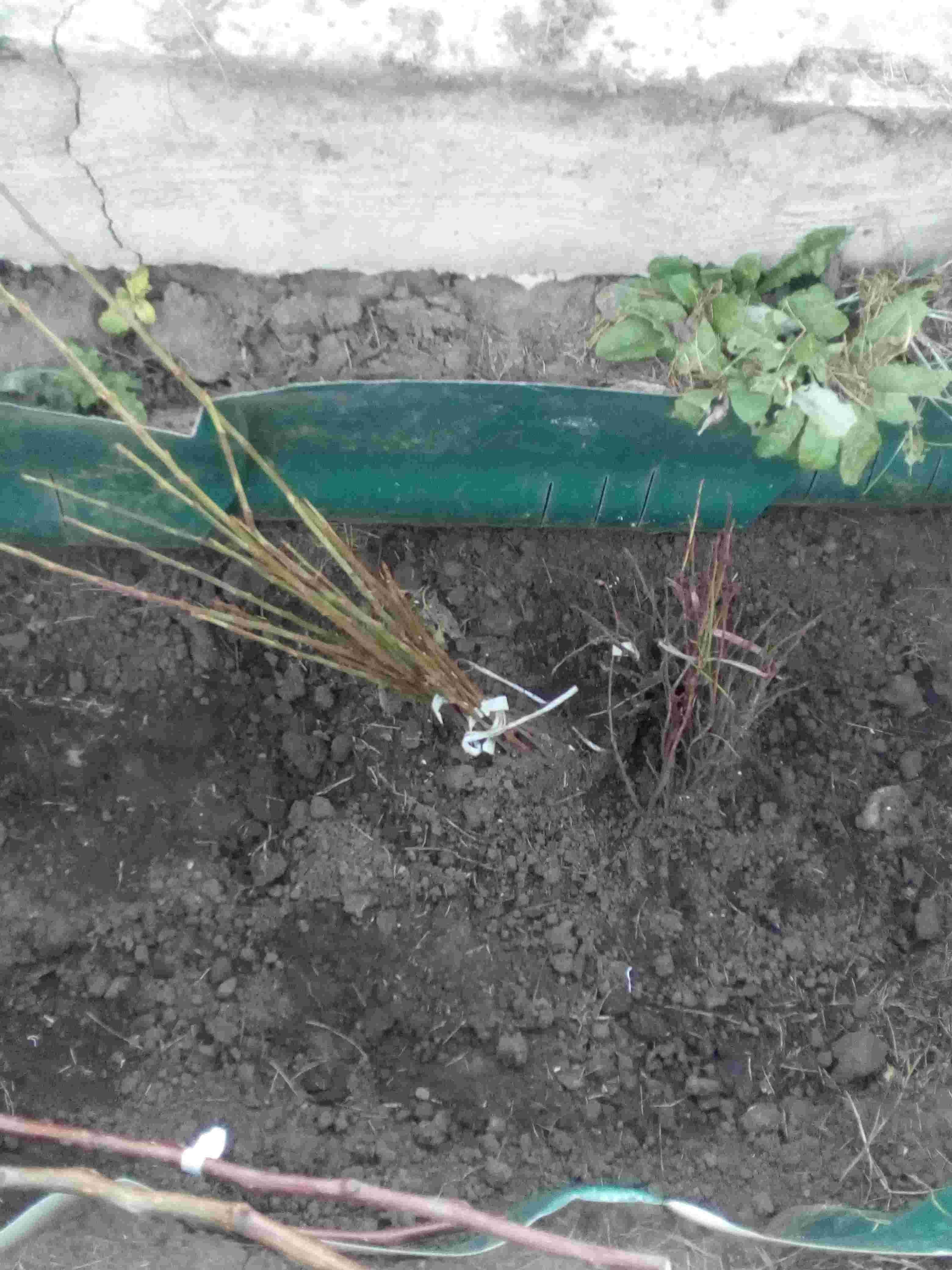 Тернослив, фундук, войлочная вишня в прикопе