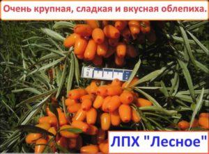 """Крупная сладкая блепиха """"Августина"""""""