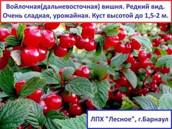 Войлочная вишня самоопыляемая Хабаровская