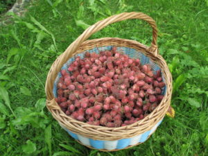 корзинка с плодами фундука