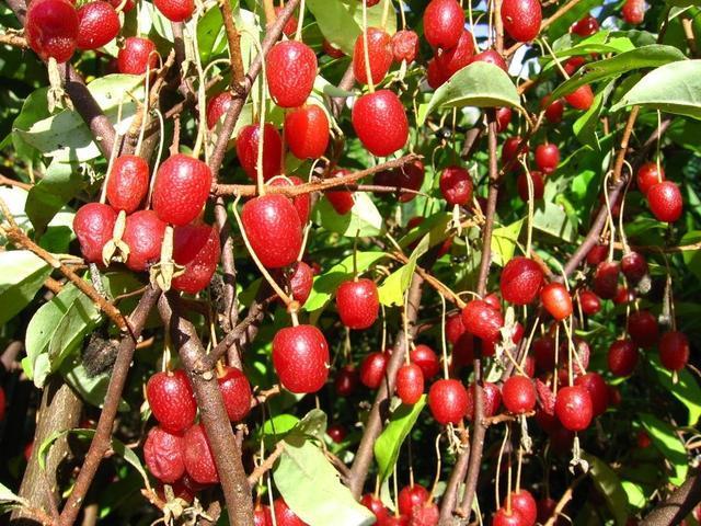 плоды Гуми