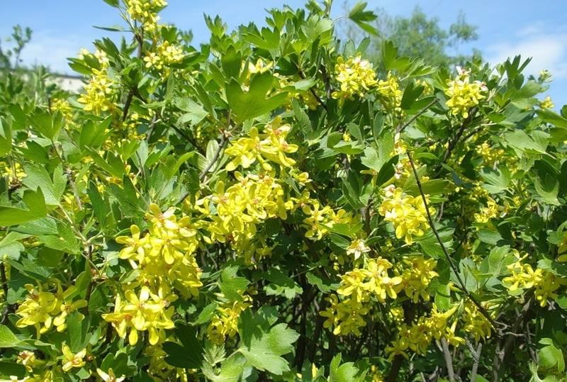 смородина-золотистая цветёт