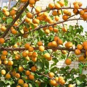 абрикос зимостойкий домашний