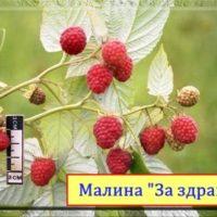 малина За здравие