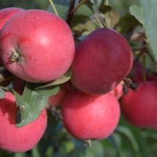 Яблоня Сибирская зимостойкая