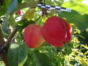 яблоня Жебровское