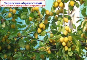 Тернослив абрикосовый