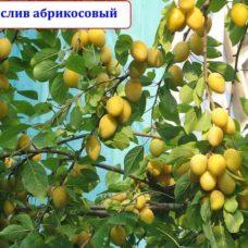 Косточковые гибриды: тернослив абрикосовый, априум