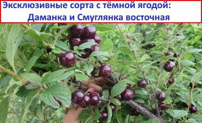 войлочная вишня Даманка
