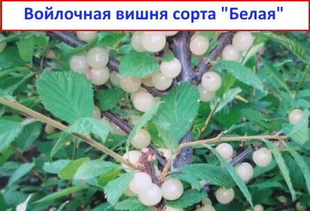 Войлочная вишня Белая