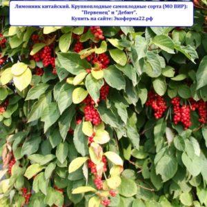 Плодоносящие лианы