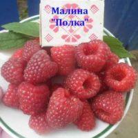 Малина Полка