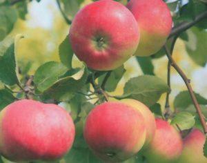 Яблоня Сувенир Алтая