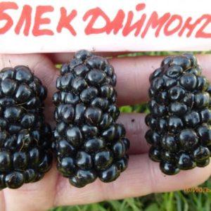Ежевика Блек даймонд(Чёрный бриллиант)