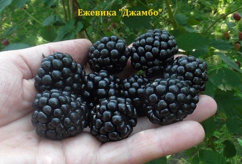 Ежевика Джамбо