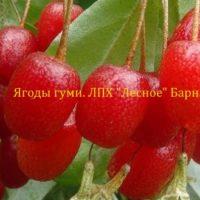 Ягода гуми(лох многоцветковый)
