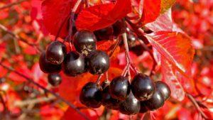 Арония(черноплодная рябина) осенью