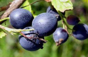 Алданский виноград