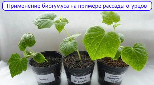Применение биогумуса на примере огурцов