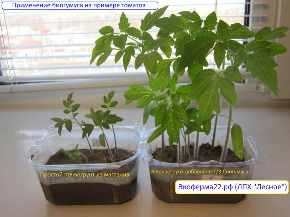 Применение биогумуса на примере томатов