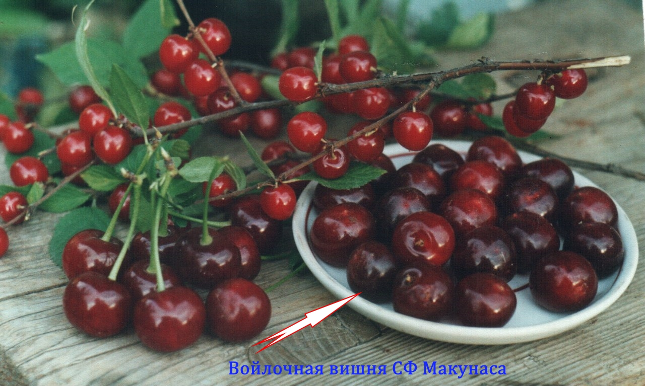 войлочная вишня Макунаса