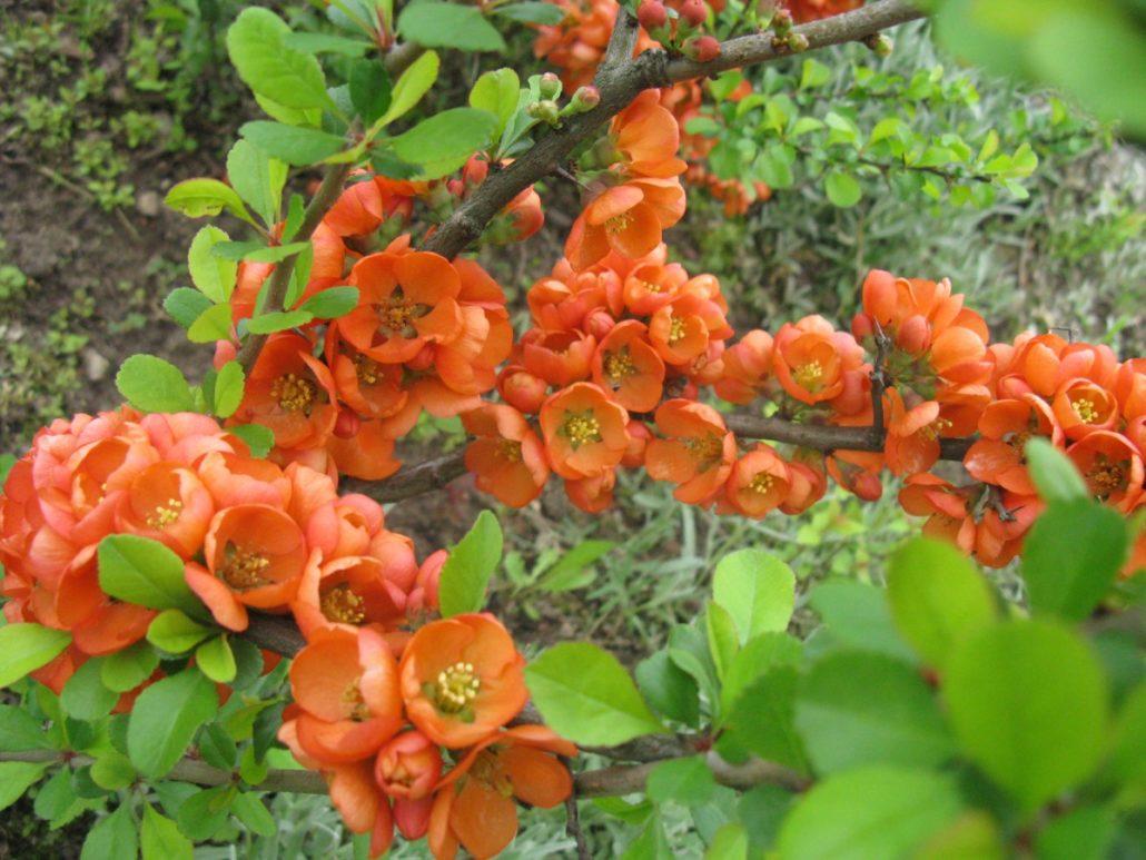 айва Orange Trail