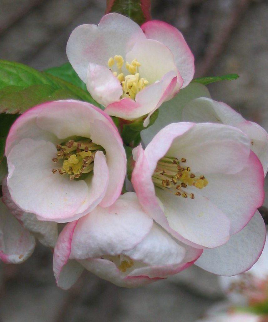 айва flocon rose