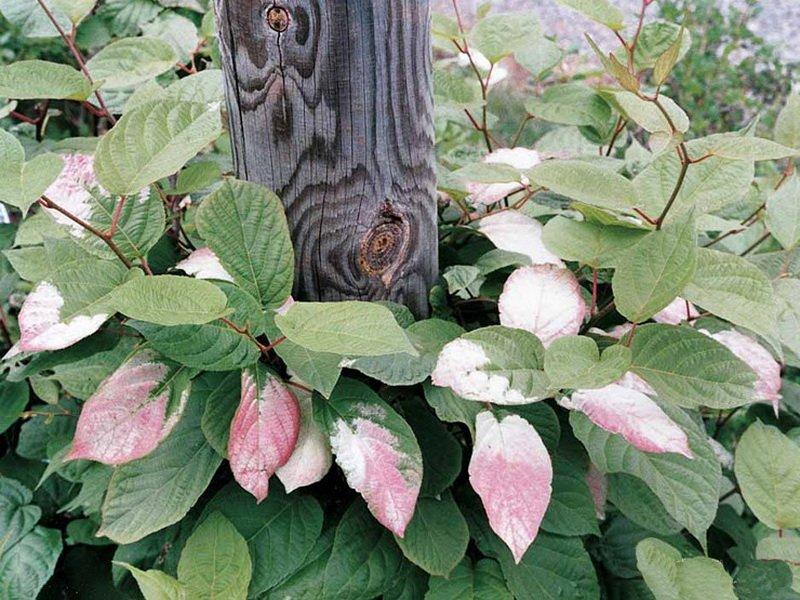 пёстрый лист актинидии