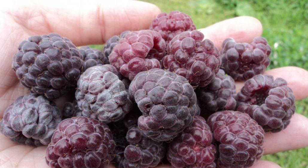 Кумберленд пурпурный (вишнёвый)