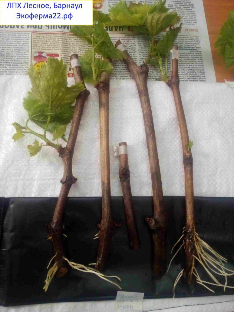 Укоренение черенков винограда в настое ивовой щепы