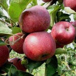 Яблоня Мулатка