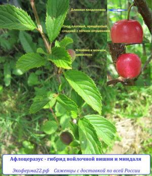 Афлоцеразус