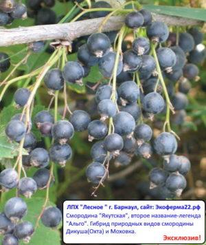 Смородина чёрная Якутская(Альго)