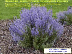 перовския растение