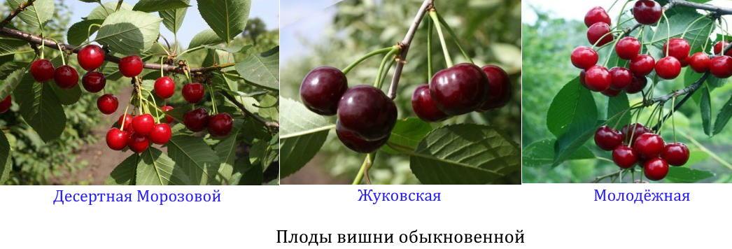 Плоды вишни обыкновенной