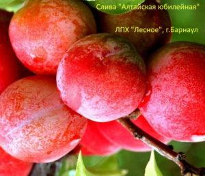 Слива Алтайская Юбилейная